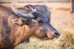 Thai buffalo portrait, Thailand. Thai buffalo portrait, Thailand, Asia Royalty Free Stock Photography