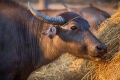 Thai buffalo portrait, Thailand. Thai buffalo portrait, Thailand, Asia Stock Photo