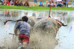 Thai buffalo racing Royalty Free Stock Photos
