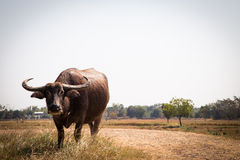 Thai buffalo on rice field,water buffalo in thailand Royalty Free Stock Images