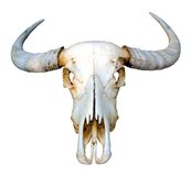 Thai buffalo skull on white background. Stock Photos