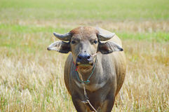 Thai buffalo standing in fields Stock Image