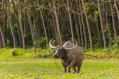 Thai buffalo standing in a grass field at Phang Nga, Thailand.  Royalty Free Stock Image