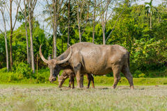 Thai buffalo standing in a grass field at Phang Nga, Thailand.  Royalty Free Stock Photography