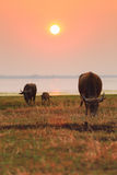 Thai buffalo in sunset Stock Photos