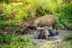 Thai buffalo in the swamp Royalty Free Stock Photography