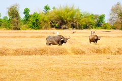 Thai Buffalo walk over the field go back home with sunset. Life Royalty Free Stock Photo