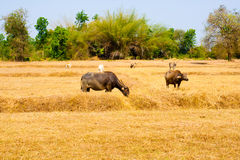 Thai Buffalo walk over the field go back home with sunset. Life' Stock Photos