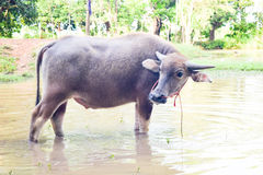 Thai Buffalo walk over the field go back home with waters and sunset Royalty Free Stock Photo