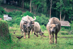 Thai Buffalo walk over the field while looking at photographer Royalty Free Stock Photo