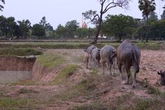 Thai buffalo. Buffalo walking on farm feed by a farmer Stock Photos