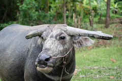 Thai buffalo Royalty Free Stock Photos