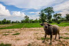 Thai buffalo Royalty Free Stock Images