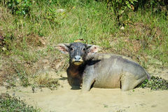 Thai buffalo in the water Stock Image