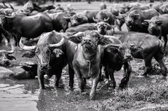Thai buffaloes Royalty Free Stock Photo