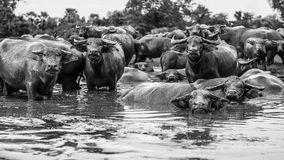 Thai buffaloes Royalty Free Stock Image