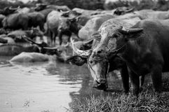 Thai buffaloes Stock Image