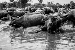 Thai buffaloes Royalty Free Stock Photos