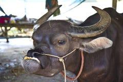 Thai buffaloes. Royalty Free Stock Photo