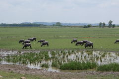 Thai buffaloes covered with mud Royalty Free Stock Images