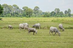 Thai buffaloes feeding in paddle field Stock Images