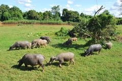 Thai buffaloes are grazing in a field Stock Photo