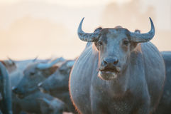 Thai buffaloes Royalty Free Stock Photo