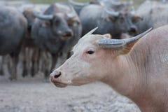 Thai buffaloes Royalty Free Stock Photography