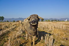 Thai buffaloes in rice fields Royalty Free Stock Photo