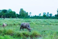 thai buffel Royaltyfria Bilder