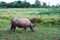 thai buffel Arkivfoto