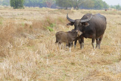 thai buffel Royaltyfri Bild