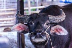 thai buffel Arkivbilder