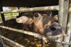 thai buffel Arkivbild