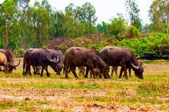 thai buffel Fotografering för Bildbyråer