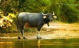 Thai buffolo Stock Photos