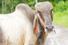 Thai bull Stock Image