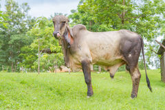 Thai bull Stock Images