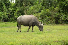 Thai bull view Royalty Free Stock Images