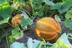 Thai Cantaloupe Stock Images