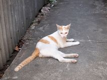 Thai cat. Animal close up royalty free stock photography