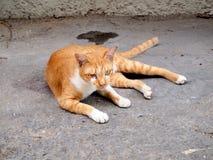 Thai cat. Animal close up stock image