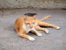 Thai cat. Animal close up royalty free stock image