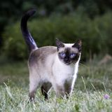 Thai Cat. Portrait of a Thai cat on the lawn royalty free stock photography