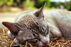 Thai cat Royalty Free Stock Image