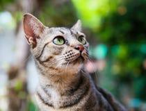 Thai cat. Mackerel Tabby cat lying on the grass Stock Image