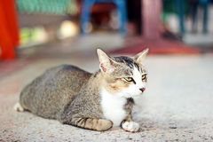 Thai cat. It is animal in Thailand. Show the identity of the country thailand. The long tail feathers body length of about one foot. high 20 cm is fierce love royalty free stock image
