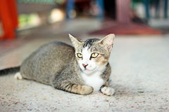 Thai cat. It is animal in Thailand. Show the identity of the country thailand. The long tail feathers body length of about one foot. high 20 cm is fierce love royalty free stock images