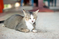 Thai cat. It is animal in Thailand. Show the identity of the country thailand. The long tail feathers body length of about one foot. high 20 cm is fierce love royalty free stock photos