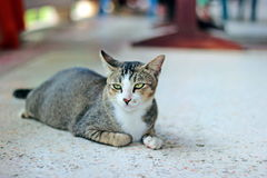 Thai cat. It is animal in Thailand. Show the identity of the country thailand. The long tail feathers body length of about one foot. high 20 cm is fierce love stock photos
